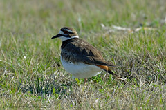 KILLDEER 28 (k.nanney) Tags: killdeer charadriusvociferous shorebirds plover waders birds texasbirds texaswildlife joepoollake cedarhillstatepark dallascounty texas nikon d800 tamronsp150600mmf563divcusd kennethnanney kennanney nanney