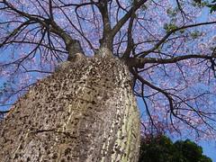 Shades of Africa . . . (ericrstoner) Tags: silkflosstree ceibaspeciosa malvaceae paineira paineirarosa prickles trunk tronco árvore brasília distritofederal
