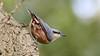 bottoms up (stellagrimsdale) Tags: nuthatch bird birdphotography bark tree birding hollowpond bokeh wood animal