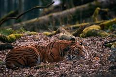 fête du travail (rondoudou87) Tags: tigre tiger sieste nap fête travail mai pentax k1 nature natur parc park parcdureynou reynou zoo feuille feuillage leaves leaf forest forêt smcpda300mmf40edifsdm sauvage 7dwf