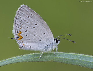An eastern tailed blue