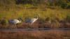 Follow Me DSC_0874 (BlueberryAsh) Tags: westerntreatmentplantbirds brolga crane waterbird westerntreatmentplant nikond500 tamron150500 grusrubicunda