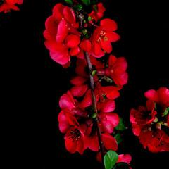 red spring (Rosmarie Voegtli) Tags: iphone red black spring frühling primavera printemps flower blossom blüten blumen fleur fiori buds knospen square rotrossorougerood
