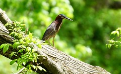 A 'Green Heron' (Butorides virescens), perched on a log next to a river (Curiously Captivating Creatures) Tags: butorides virescens green heron illinois wildlife bird summer season log tree river