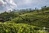 Hills of Green (www.jamesbrew.com) (James Brew (www.jamesbrew.com)) Tags: srilanka landscape landscapephotography trekking travel travelling travelphotography asia tea teaplantation walking nature explore jamesbrew liptonsseat hills