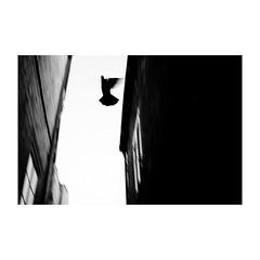 dubrovnik (s_inagaki) Tags: monochrome walking 島 bnw street 朝 モノクロ 白黒 bw 散歩 bird wall blackandwhite dubrovnik スナップ 鳥 croatia morning ドゥブロヴニク オールドレンズ クロアチア snap industar69