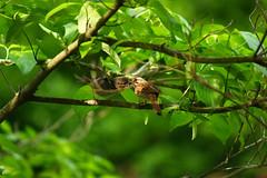 Song Sparrow Fledgling and Mom (brandon_gerringer) Tags: songsparrow sparrow mom mothersday bird birds birdphotography nature naturephotography wildlife wildlifephotography green urban melospizamelodia canon dogwood