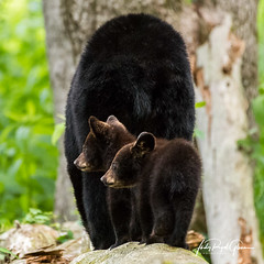 """Two cubs """"In Tow"""" behind mama bear in Cades Cove, Tennesse. Judy Royal Glenn Photography (Judy Royal Glenn) Tags: babyanimals cadescove gsmnp tennessee bear cub cubs sow happymothersday mothersday mothersday2018 cadescovetennessee cadescovebears cadescoveloop blackbear blackbearcub blackbearcubs blackbearsow greatsmokymountainsnationalpark greatsmokymountains judyroyalglennphotography judyroyalglenn wildlife wildlifephotography nature naturephotography wildlifeandnaturephotographer bears blackbears mammal mammals animal animals"""