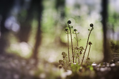 Forest finds (Chris Johnston Photography) Tags: forest ferns spring surreal soft samyang 135mm pentaxart pentaxk1 samyang135mm f2