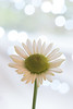 Mother's Day Flowers... (Liz McMahon) Tags: 52in2018 25 white bokeh mothersday flowers daisy nikond750 nikon105mmmicro