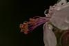 After the rain (Gisou68Fr) Tags: macromondays lowkey fleur flower gouttes drops dropplets gouttelettes pluie rain blanc rose white pink étamines stamens pistil canoneos650d ef100mmf28lmacroisusm macro