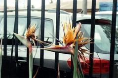 Analoga (photo du chaleins) Tags: photo photography analoga analog analogphotography film fotografia foto 200asa rollo fotografiaanaloga zenit zenit11 avedelparaiso flor flower