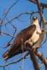 Osprey After Dinner (Bryan O'Toole) Tags: osprey wildlife whitefishisland saultstemarie ontario northernontario canada algoma nikon nikond810 nikonafs200400mmf4vr talons