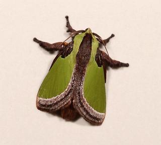 Cup Moth (Parasa pseudorepanda, Limacodidae)