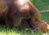 orangutan Kevin Apenheul BB2A1445 (j.a.kok) Tags: orangutan orangoetan orang animal asia azie ape apenheul aap mammal monkey mensaap primaat primate zoogdier dier kevin