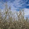 Blackthorn Hedge (prajpix) Tags: blackthorn hedge hedgerow tree flowers rosshire highlands scotland nature wild blossom sky clouds
