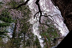 The Falling Tree (tez-guitar) Tags: cherryblossom cherry weeping tree akita kakunodate pentax pentaxart spring flower street