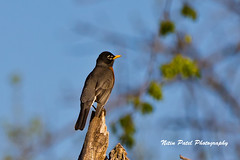 IMG_6452 (nitinpatel2) Tags: bird nature nitinpatel