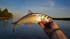 Skipjack Herring (Isaac's Fishing Corner) Tags: fish fishing skipjack shad herring ohio river