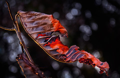 Glowing.. (2MilkyWay) Tags: leaf nature light glow orange burned abstract art composition perspective wilderness plant color bokeh red
