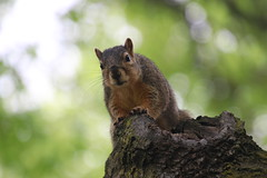 343/365/3630 (May 20, 2018) - Squirrels at Bowling Green State University - May 20th, 2018 (Bowling Green, Ohio) (cseeman) Tags: squirrels easterngraysquirrels foxsquirrels wildlife animals bowlinggreen bowlinggreenohio ohio bgsusquirrels trees leaves campus bowlinggreenstateuniversity university campussquirrels bowlinggreenstateuniversitysquirrels bgsquirrels 2018project365coreys yeartenproject365coreys project365 p365cs052018 356project2018