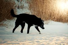 Winter sunset with Koda (michaeldantesalazar) Tags: dog sunset winter grass tallgrass black mutt light nature animal snow canada manitoba blackdog lighting winnipeg park bear tree