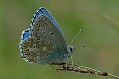 Polyommatus (Lysandra) bellargus - the Adonis Blue (male) (BugsAlive) Tags: butterfly butterflies mariposa papillon farfalla schmetterling бабочка animal outdoor insects insect lepidoptera macro nature lycaenidae polyommatusbellargus lysandrabellargus adonisblue polyommatinae wildlife warminster wiltshire liveinsects uk