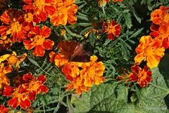 Квіти Чорнобривці InterNetri Ukraine 36