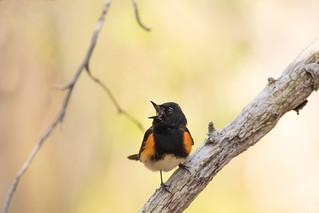 '' Chanter à coeur joie!'' Paruline flamboyante-Amerrican Redstart