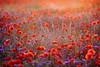 IMG_0026 (geraldtourniaire) Tags: natur nature mohn sonnenuntergang eos6d 6d licht 135l ef gräser gegenlicht goldene s