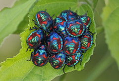 Cotton Harlequin Bugs 022 (DMT@YLOR) Tags: beetles bugs beautiful milticolour cottonharlequinbug hibiscusbeetle harlequinbug harlequinbeetle goodna queensland ipswich australia nature leaf leaves hibiscusleaf green blue red group cluster cold huddle amazing iridescent sparkle
