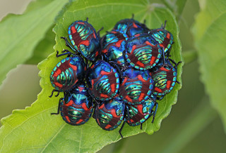 Cotton Harlequin Bugs 022