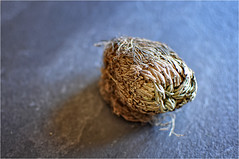 Resurrection plant (elena_n) Tags: plant