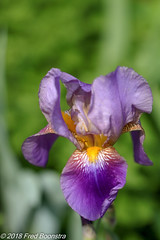 "During a walk with Jetje .. . ""Iris"" (Fred / Canon 70D) Tags: iris closeup canon canon70d canoneos ef100mmf28lmacroisusm eefde garden plant"