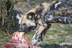 Wild dog eating meat II (Tambako the Jaguar) Tags: wilddog dog canine canid african painted profile portrait standing grass eating meat food hungry basel zoo zolli switzerland nikon d5