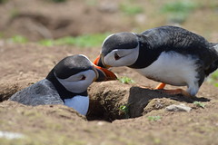 Skomer Island (angharad.barrett) Tags: skomer seal puffin lovedup couple island pembrokeshire wildlife nature birds beautiful bluebells funny