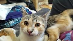 Cat fight (EmperorNorton47) Tags: portolahills california digital spring cat cats tabbycat tabby kitten kittens video playing cameraphone calicocat calico hemingwaycat polydactyl