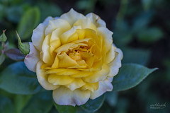 The Rose (rockheadz) Tags: rose yellow natur nature green blume flower garten garden