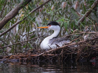 Clarks Grebe (Aechmophorus clarkii)  vigilantly  setting on a masterfully built nest