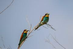 20mai18_08_prigorii prundu 08 (Valentin Groza) Tags: prigorie prigorii bee eater merops apiaster romania summer bird flight bif birdwatching outdoor