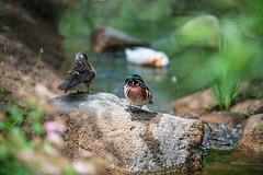 Wood Duck pair († David Gunter) Tags: wood duck woodie nature water fowl waterfowl ducks natural bird rock male female