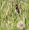 IMG_0259 (holibre78) Tags: oiseaux chardonneret elegant campagne birds champs village