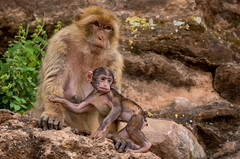 Singes Magot - Ouzoud (Ludovic Di Iorio) Tags: singe magot animal ouzoud maroc marocco nature baby pentax faune photography photographie