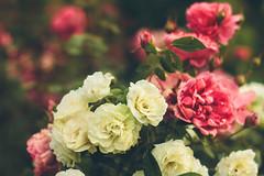 My Rose garden (Inka56) Tags: roses rosegarden garden whiteroses pinkrose bokeh dof oldlens supertakumar255 manualfocus