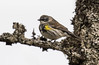 Yellow-rumped Warbler (Melissa M McCarthy) Tags: yellowrumpedwarbler warbler bird songbird animal nature outdoor wildlife cute tiny yellow portrait perched stjohns newfoundland canada canon7dmarkii canon100400isii