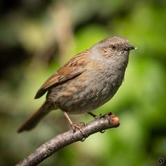 Dunnock (Mr Aylesbury) Tags: 2018 spring macro wildlife uk england bird panasonic closeup gardenbird dunnock lumix karlvaughan dmcgx8