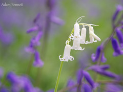 Rare white bluebell - Spring 2018 (asbennettadam) Tags: spring nature beautiful floral flora flowers unique white rare bluebells radarhill essex southwoodhamferrers