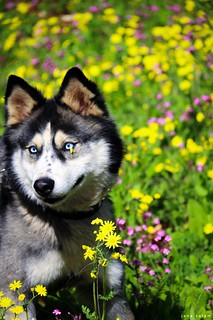 #husky #photography #spring #photooftheday #photo #photographyoftheday #nature_photography #photo_art #huskylovers #pic #flickr #explore