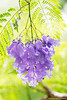 Jacaranda mimosifolia (Hayataro Sakitsu (﨑津 鮠太郎)) Tags: jacaranda mimosifolia jacarandamimosifolia flowers hawaii plant blossoms tree tropical nature spring