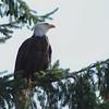 Eagles perch (briannalhendricks) Tags: wildlifephotography wildlife canonrebelt6 canon pnw eagle
